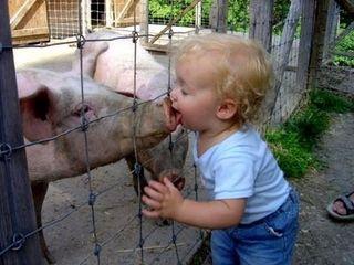 Swine-fever