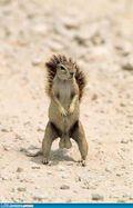 Squirrel stud
