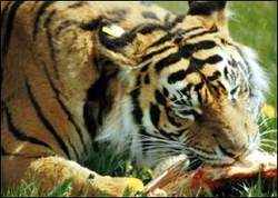 Tigereating