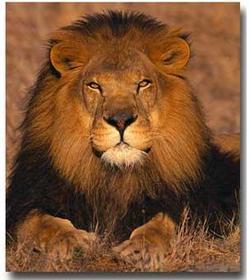 Lion2_2